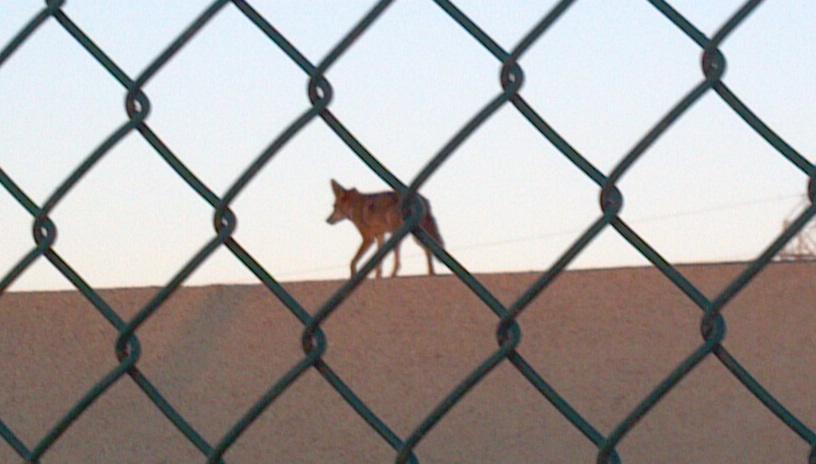 Shop Coyote